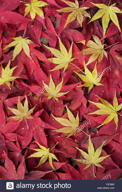 growth pattern of japanese maple acer leaves japanese maple leaves changing colour in