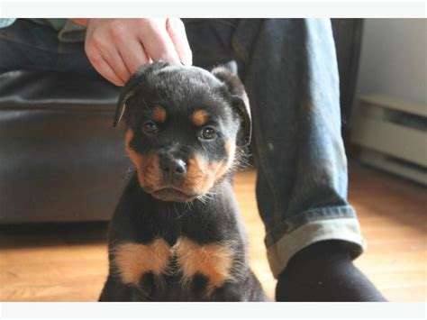 rottweiler puppies for sale montreal registered rottweiler pups outside comox valley courtenay comox