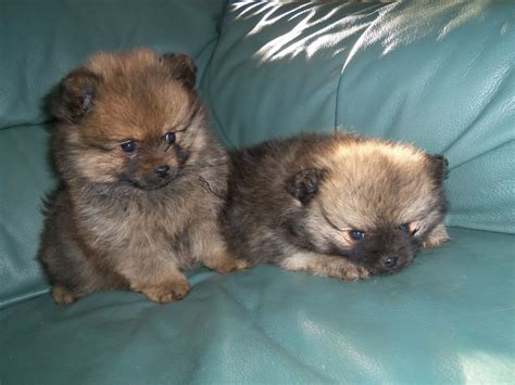 3 week pomeranian puppies 3 4 pomeranian puppies 1 4 crested market harborough leicestershire