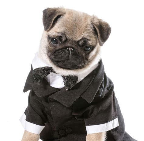 pug tuxedo birthday card tuxedo pug puppy with same day despatch free post ebay