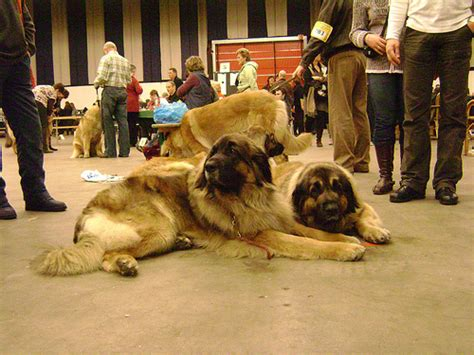 leonberger puppies cost how much do leonberger dogs cost howmuchisit org