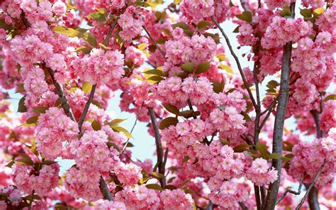 flowers in bloom pink flowers bloom wallpapers hd wallpapers id 5645