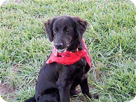 flat coated retriever golden retriever mix westport ct flat coated retriever golden retriever mix meet callie a puppy for