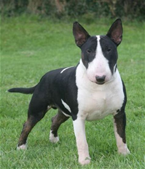 bull terrier miniature the life of animals miniature bull terrier dog breed history and some