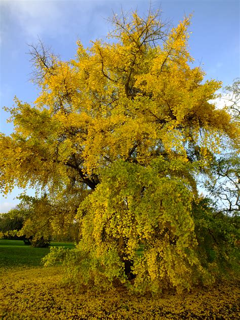 at kew gardens ginkgo biloba a meeting with these