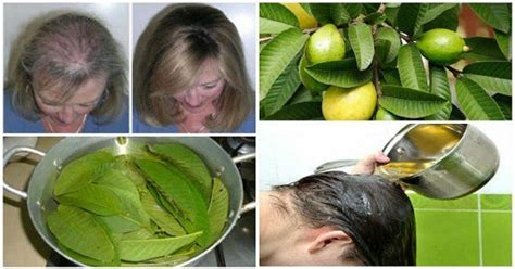 Detox Guava Tea by Guava Leaves Can Stop Hair Loss And Make It Grow Like