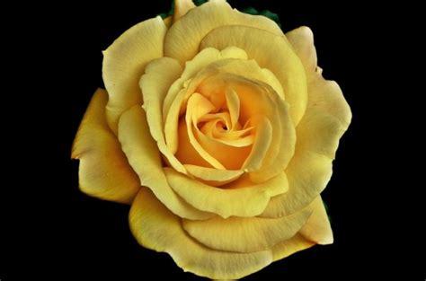 gambar bunga mawar terlengkap  warna putih ungu