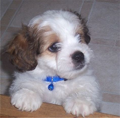 shih tzu dogs span shih tzu breed information puppies pictures