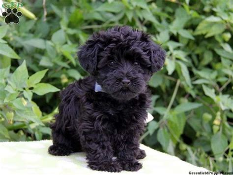 where to buy yorkie poo puppies best 25 yorkie poo puppies ideas on yorki poo yorkie poodle and yorkie