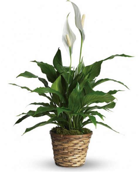 jenis tanaman hias pembersih udara tanaman hias