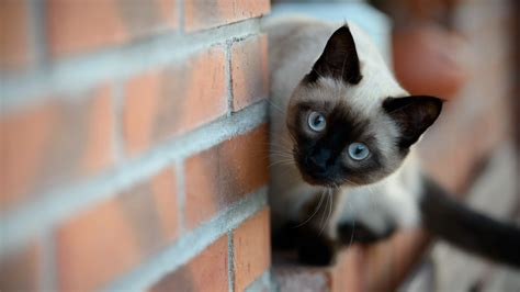 full hd wallpaper cat amusing blue eyes desktop