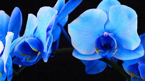 blue orchid color infused blue orchids