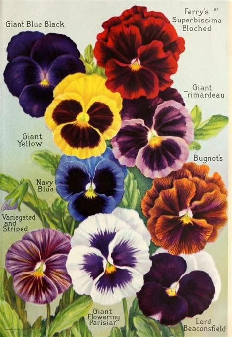 pansy colors color sles for paper pansies from the butterfly