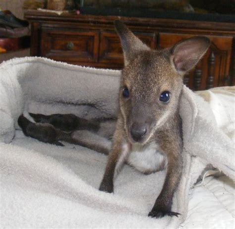 buffalo hill exotics bennett s wallabies