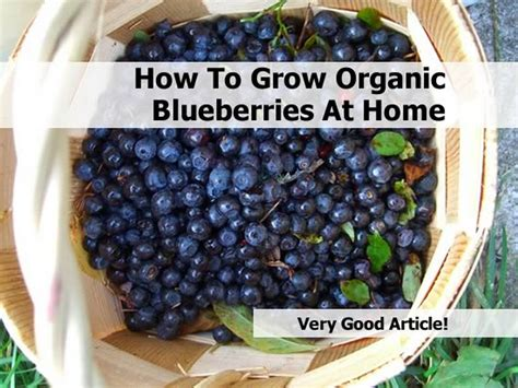 top 28 what can you make with blueberries top 10 plants with potent healing properties