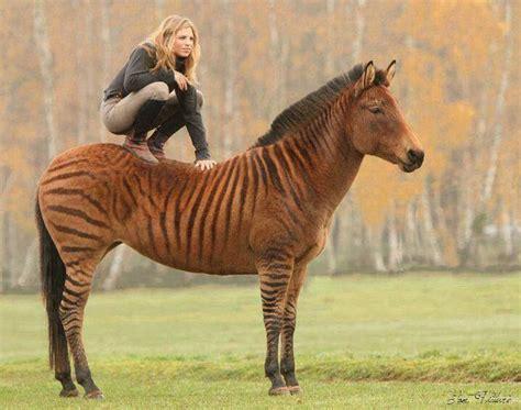 Ac Zebra zorse i want one photos