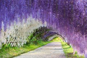 Flower Tunnel by Wisteria Flower Tunnel Japan 83 Unreal Places You