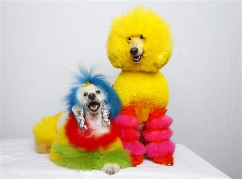 Blind Dog Mike Rainbow Poodles Dog Groomer Catherine Opson S Colorful Pets