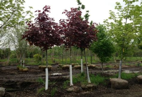 king house maple shade king house maple shade 28 images crimson king maple tree for sale fast growing