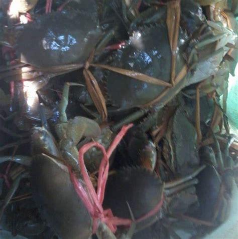Benih Lobster Air Tawar Sabah pembekal ketam nipah grocery store kota bharu 6