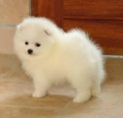 teacup pomeranian shed 17 best ideas about small breeds on small dogs small puppy