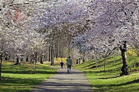 cherry blossom festival in branch brook park nj