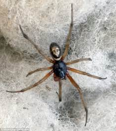 Garden Spider Vs False Widow False Widow Spider Bite Leaves Lorry Driver With