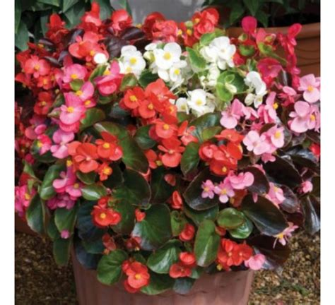 buy begonia semerflorens mixed seeds online at cheap price india s biggest plants and seeds shop