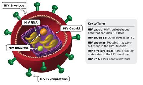 diagram of hiv virus hiv with a special focus on screening diagnosis and