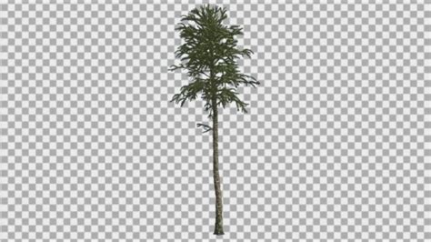 thin tree monkey puzzle thin tree branches on a top by zmei116