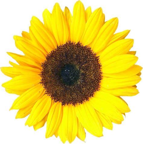 girasole fiore significato girasoli significato significato fiori girasoli