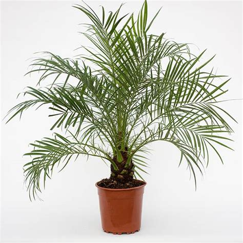 Buy pygmy date palm, miniature date palm Phoenix roebelenii: Delivery by Crocus