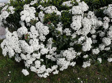 when to prune flowering shrubs pruning viburnums when and how to prune viburnum
