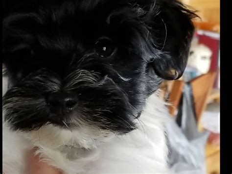 havanese puppies for sale in louisiana revistio la costa havanese puppies for sale