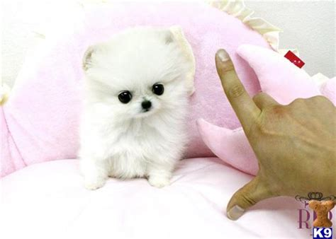 pomeranian puppies for sale stockton ca pekingese puppies for sale california breeds picture