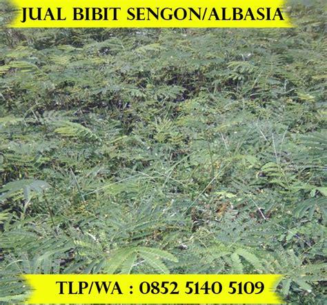Harga Bibit Sengon 2017 bibit sengon www picswe