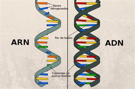 cadenas adn y arn diferencia entre adn y arn que diferencia