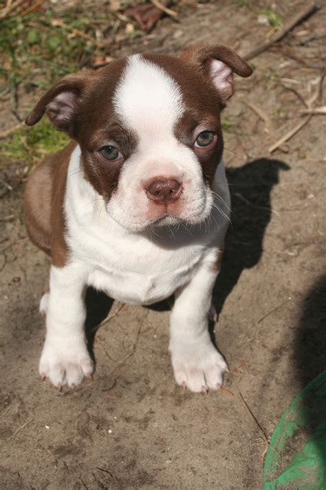 boston terrier pitbull mix puppies boston terrier american pit bull terrier mix for adoption in memes