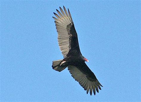 the turkey vulture cathartes aura desertusa