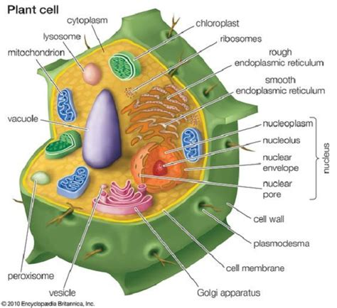 plant cell diagram labeled plant cell diagrams labeled diagram site