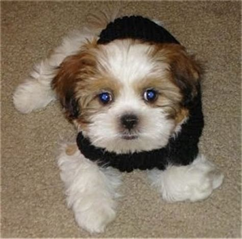 shih tzu bichon mix zuchon shichon breed information and pictures