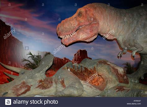 tyrannosaurus rex eating tyrannosaurus rex eating a triceratops stock photo