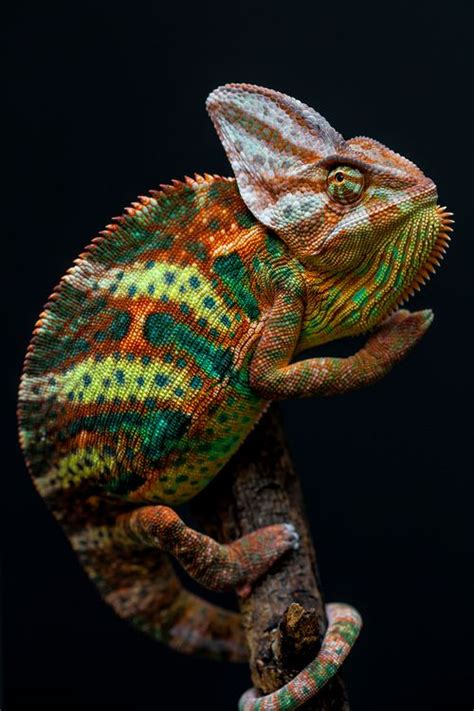 Cd Paket B Chameleons 2435 best images about reptiles on pit viper crested gecko and morelia