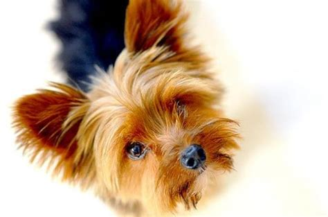 california yorkie breeders home yorkie terrier puppies for sale california