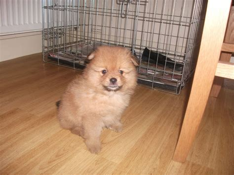 pomeranian puppies for sale in wv chihuahua puppies for sale adoption from coast queensland quotes