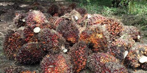 Kebun Bibit Tanaman Lobi Lobi 40cm bpdpks peremajaan sawit cegah perambahan hutan yang dapat