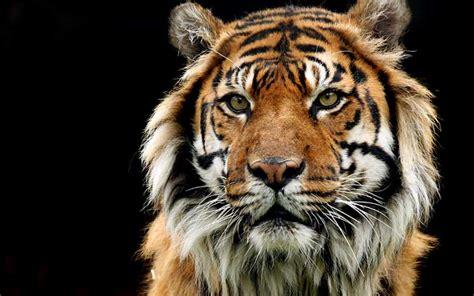 imagenes de leones y tigres peleando informaci 243 n sobre el tigre tigres informaci 243 n y
