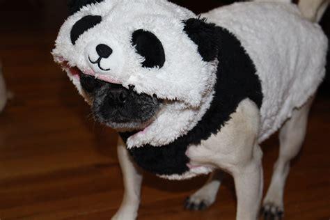 pug panda costume about pug page 6 of 67 pugs pugs pug stories all pugs