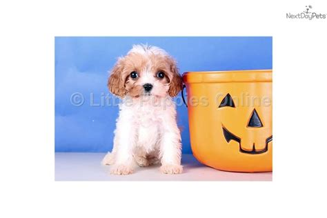 teacup cavapoo puppies for sale teacup yorkie puppies sale i book covers