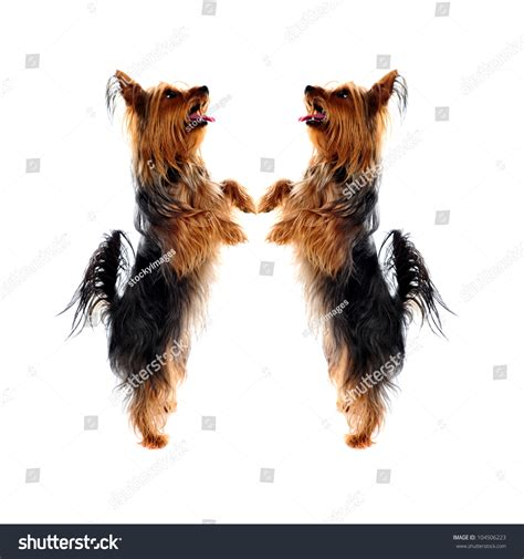 yorkie leg problems two loving terrier pets standing on legs and looking upwards stock photo